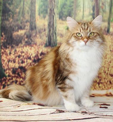 золотая мраморная с белым сибирская кошка
