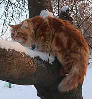 Нафаня Сибирский Самоцвет|Nafanya Siberian Samotsvet