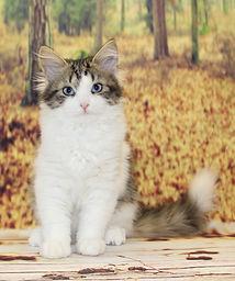 сибирская кошка традиционного окраса с голубыми глазами