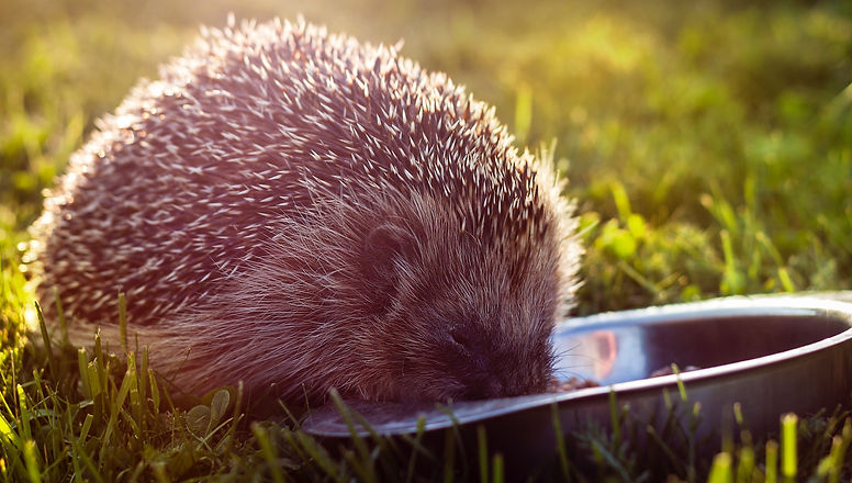 selective focus photography of hedgehog eating on green grass field_edited.jpg