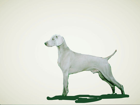 Weimaraner dog breeder Long Island New York, weimaraner pet puppies