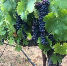 Vineyard Maintenance