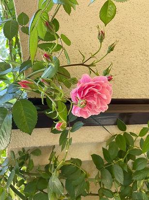 Фото красивой розы