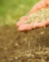 Фото посева газона с применением травосмеси  Лилипут. Заказать устройство посевного газона по оптимальной цене можно у нашей ландшафтной компании.
