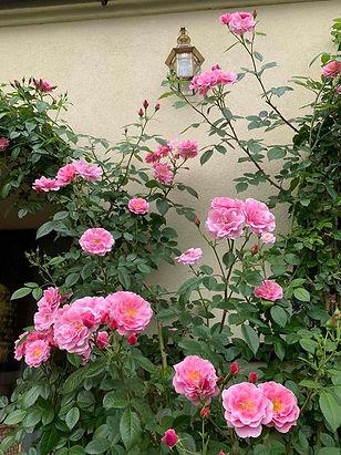 Розовая плетистая роза на стене