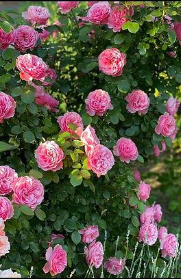 Изображение роз в прекрасном саду на нашем объекте