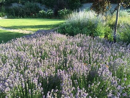 лаванда в саду фото участка