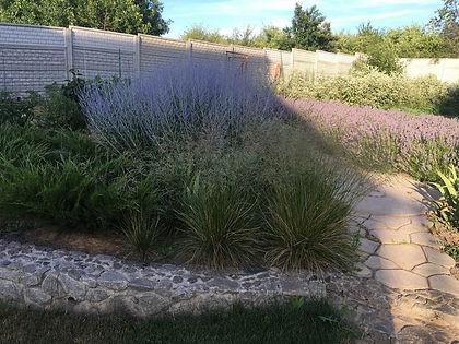 Фото лаванды в саду