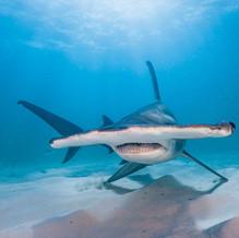 hammerhai.jpg