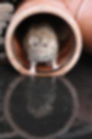 rat pic.jpg