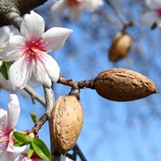 Almond Sweet Carrier Oil