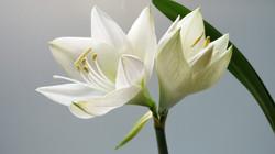 white-lilies-thumb