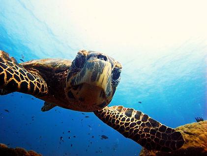 Turtle at Gili Trawangan Indonesia