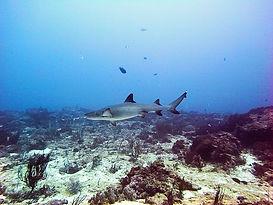 Reef shark at Gili Trawangan Indonesia