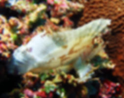Leaf scorpion fish Hans Reef Gili Air Indonesia