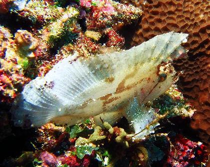 Leaf scorpion fish Hans Reef Gili Air Indonesia