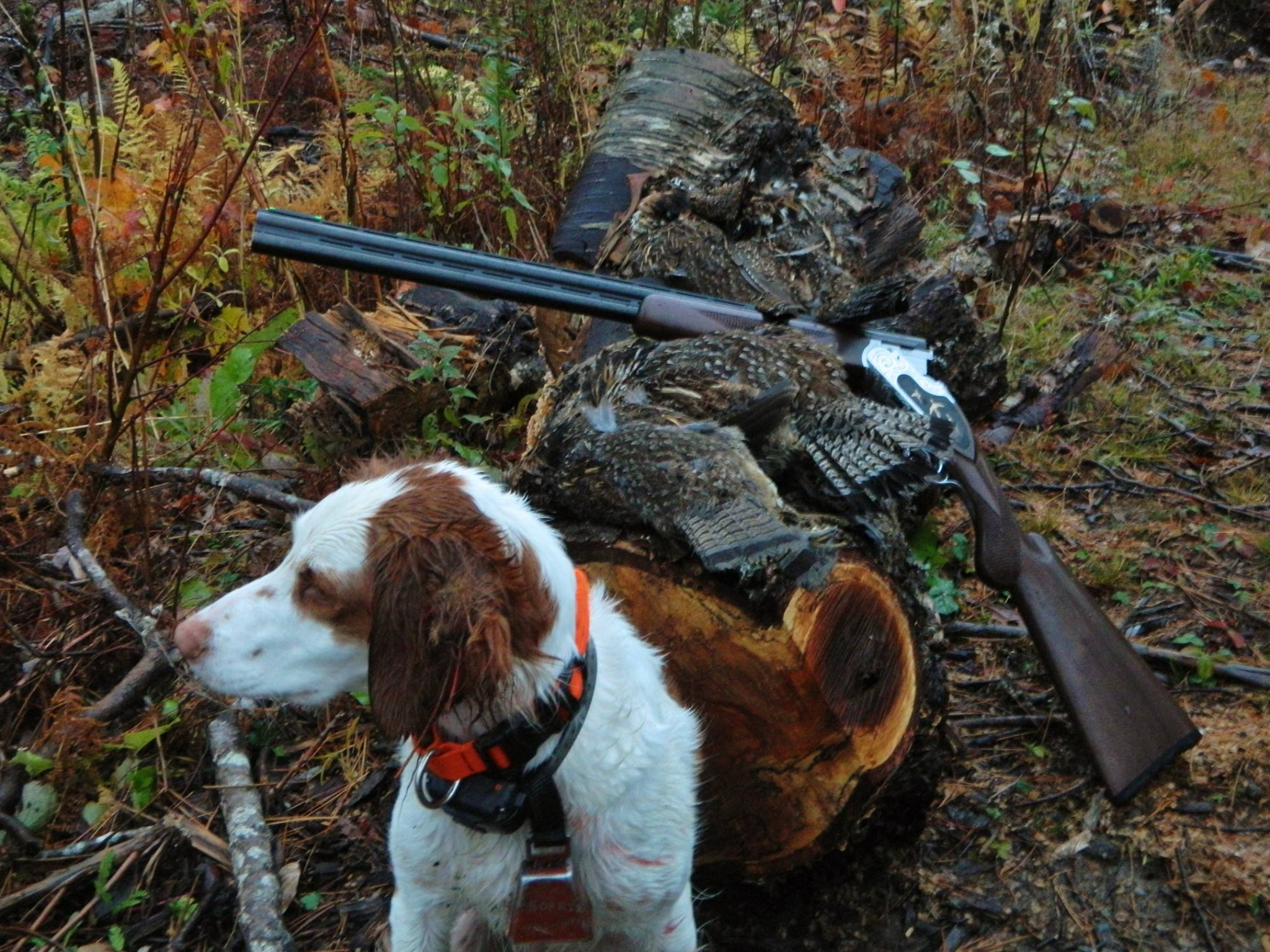 Maine partridge hunting