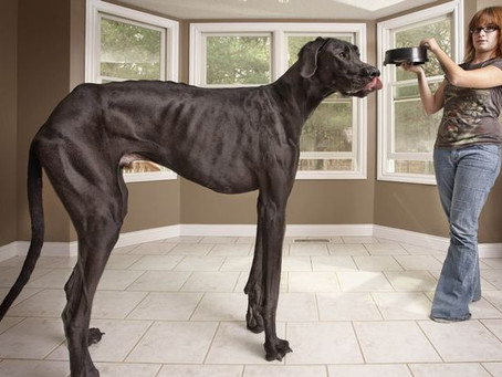 Zeus the world's tallest dog dies just before his 6th birthday