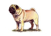 Pug Breed Standard - The Kennel Club