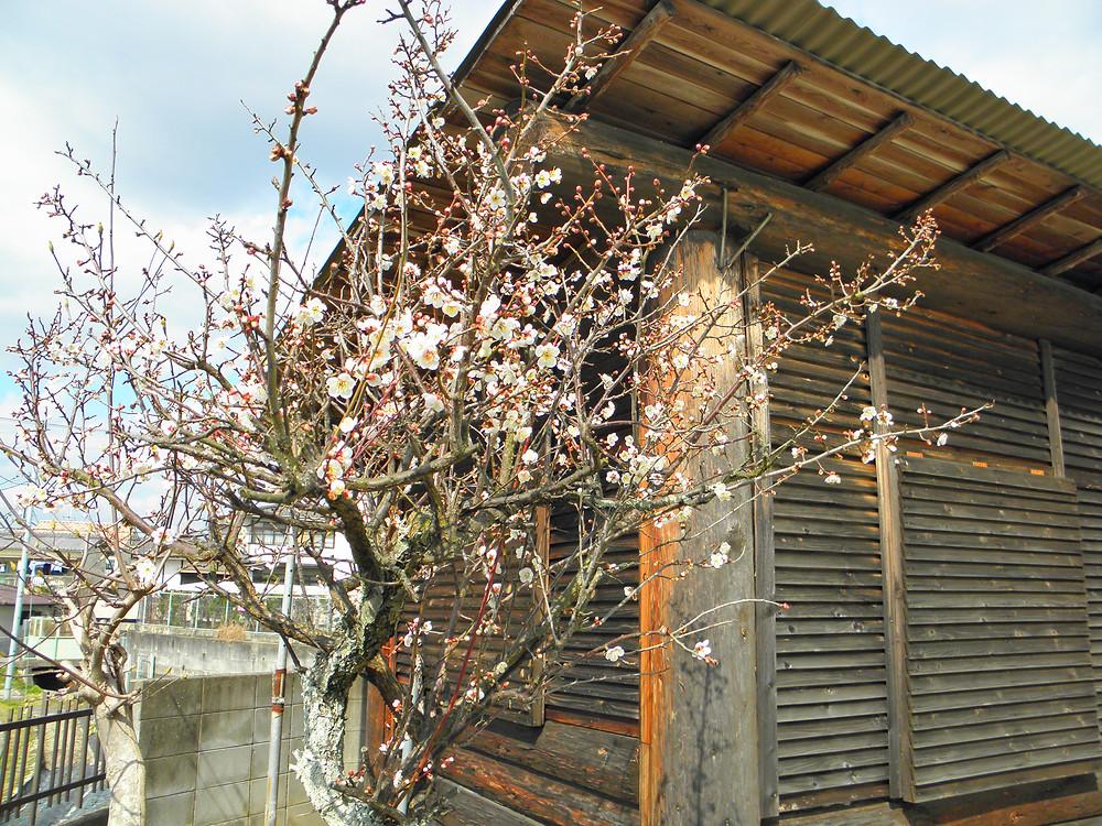 腰痛や肩こりをこの小屋で改善させます 今ならたつの市方面から来られる際にこの梅が見えますよ