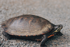 Nature Encounters: Eastern Painted Turtle