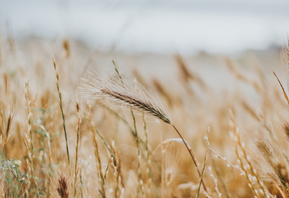 Celebrate Lughnasadh / Lammas: Harvesting Gratitude & Grain