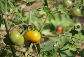 Life Lessons From Tomato Plants
