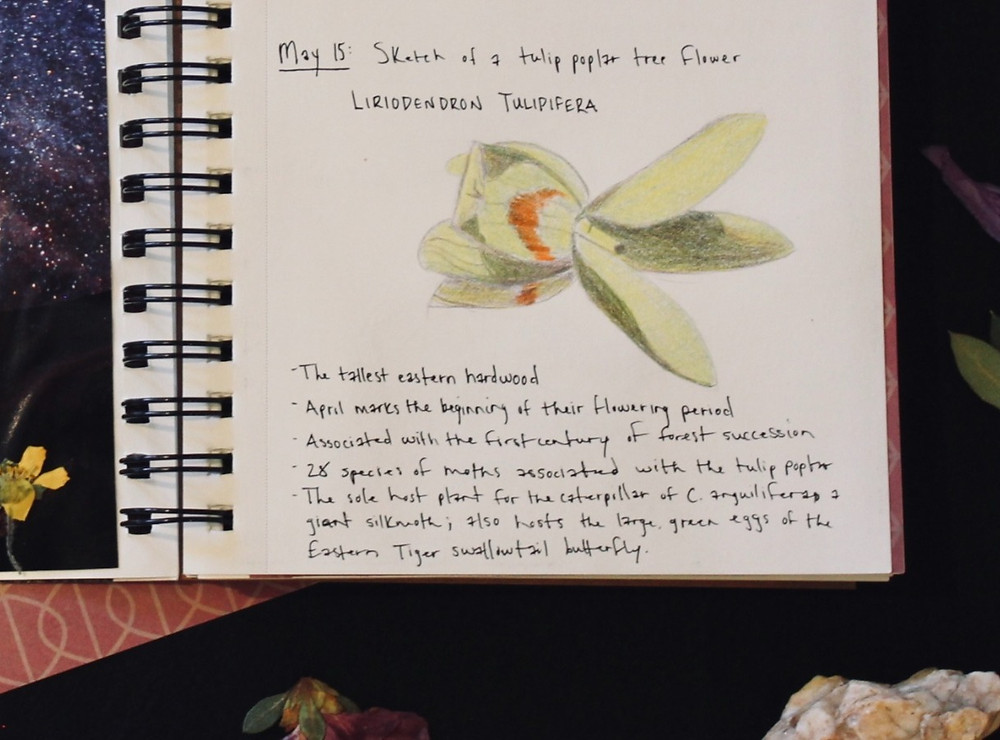 A drawing of a tulip poplar flower in a sketch book