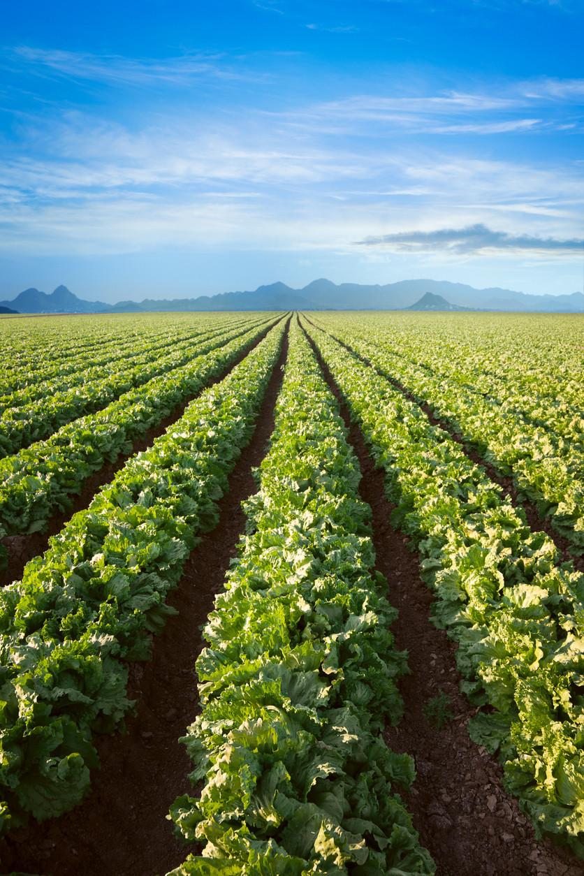 Leafy green romaine traceability