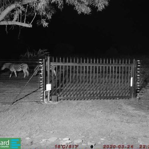 Uma mina eletrônica detecta uma zebra na frente de uma porteira de fazendana na Africa do Sul