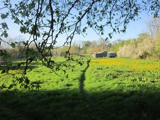 Spring has Sprung- Dandelion