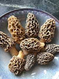 Morels upright.jpg