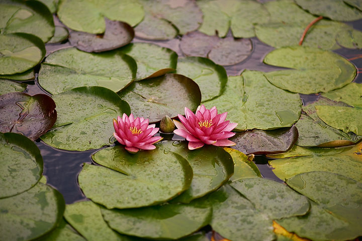 water-lily-4410471_1920.jpg