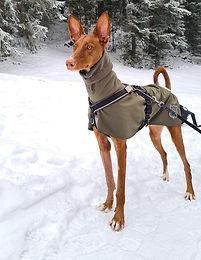 DGDoggear Regenmantel - Podenco Windhund im Regen