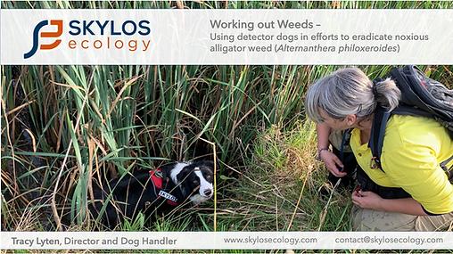 skylos_ecology_alligator_Weed_EIANZ