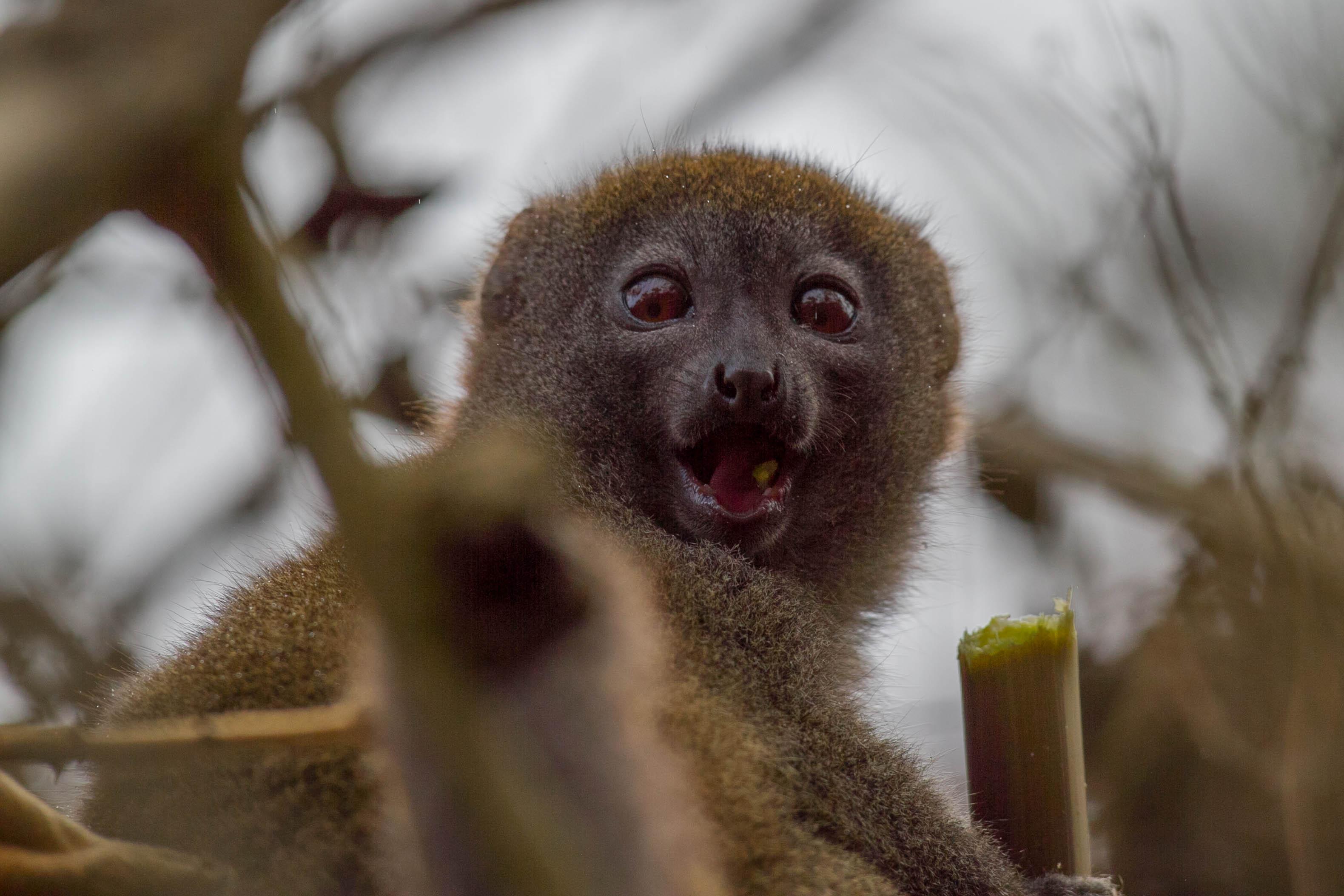 Lémur bambou