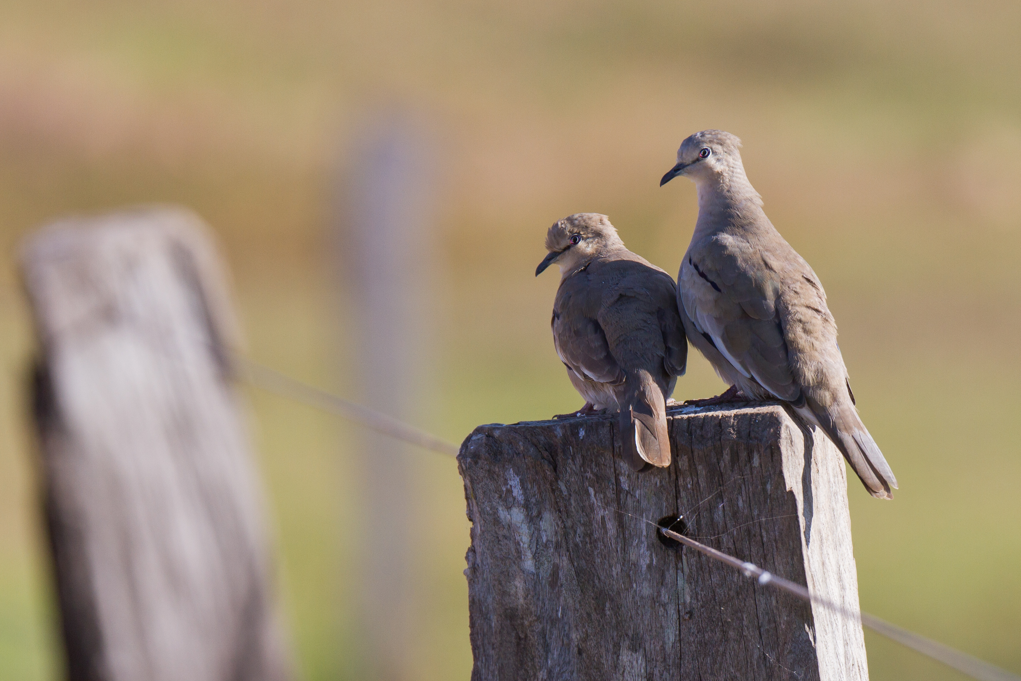 Pigeons picazuro