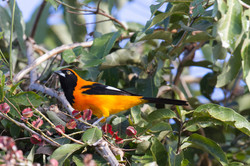 Oriole à dos orange
