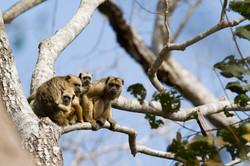 Singes capucins