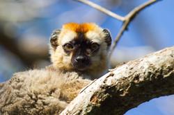Lemur roux