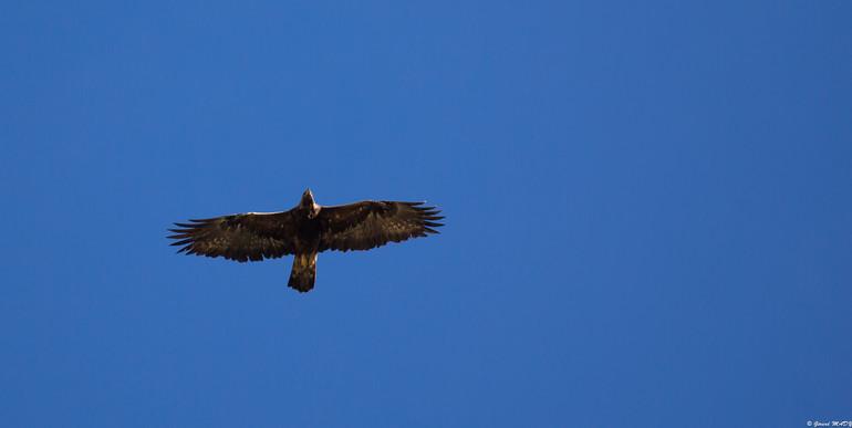 Septembre 2018 je suis en vallée d'Ossau pour chercher les aigles et les gypaètes. En voici un qui pase très haut, puis vite disparait!