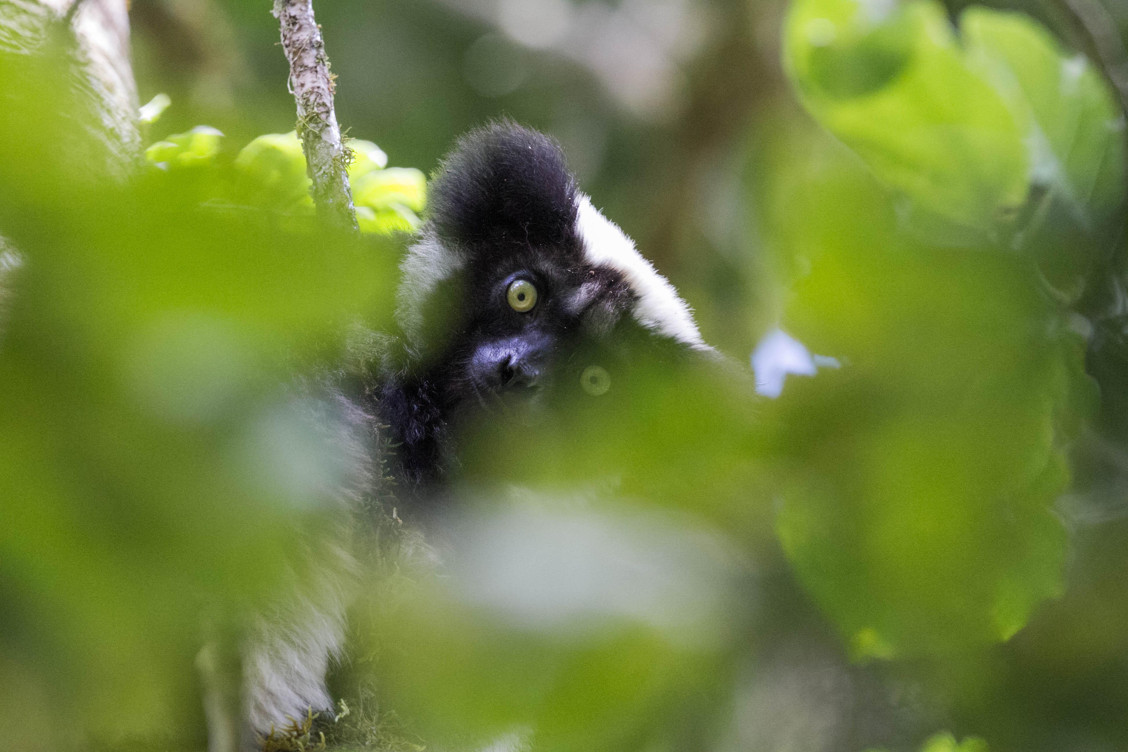 Indri indri