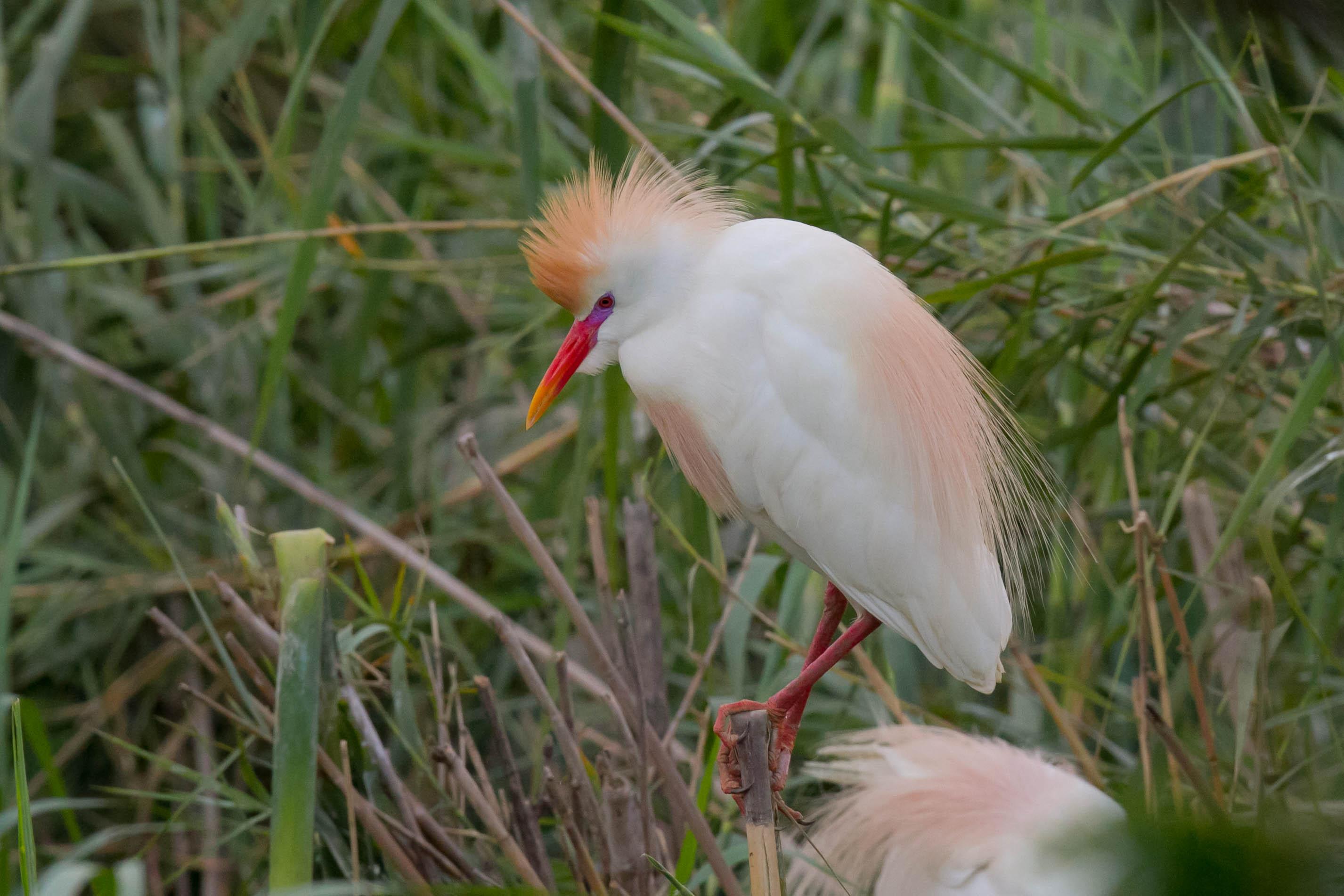 Gard boeuf en plumage nuptial