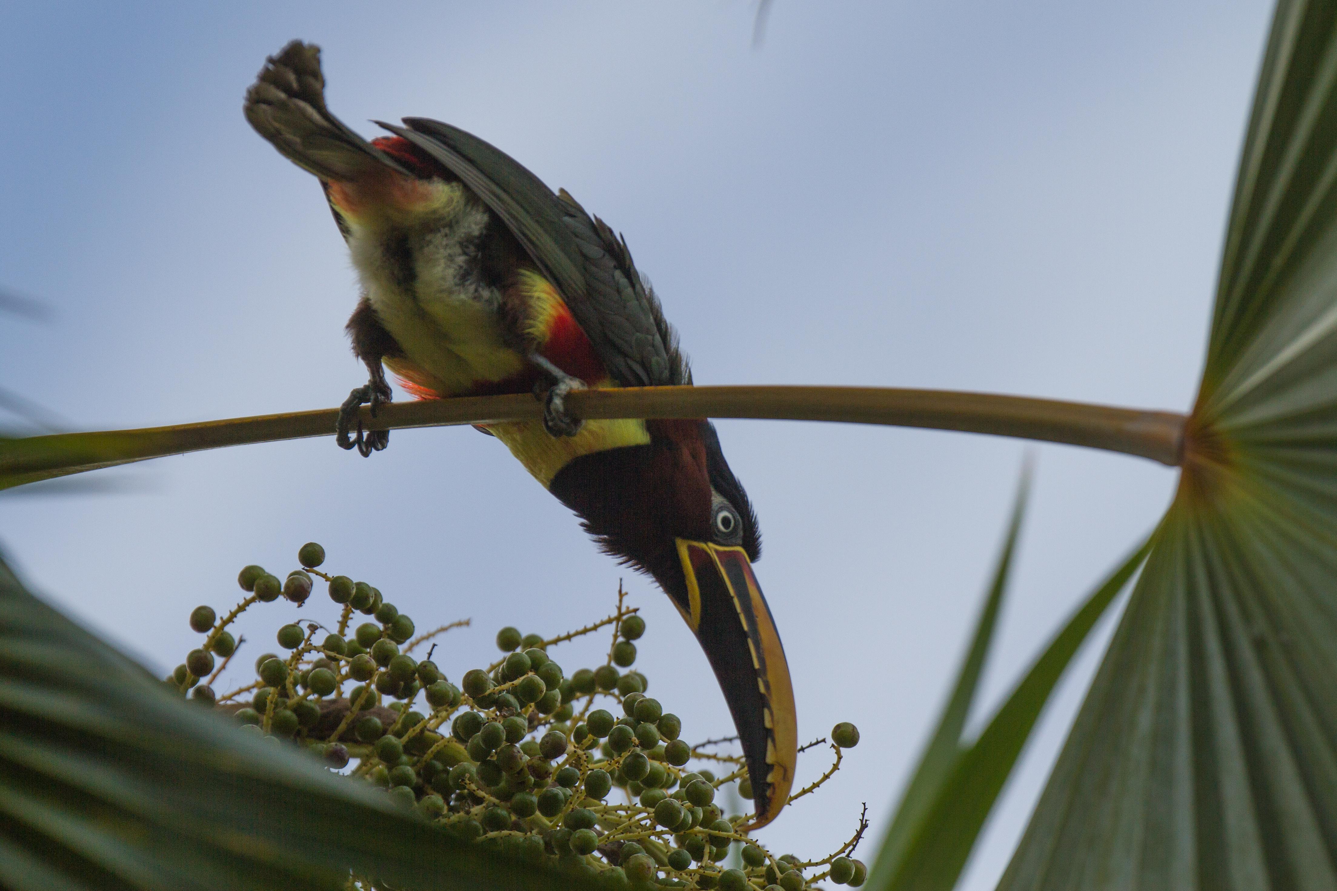 Aracari à oreillons roux