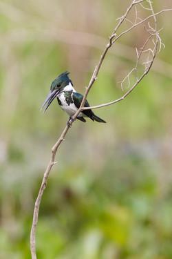 Martin pêcheur vert (femelle)