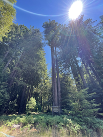 CN redwoods 1.HEIC