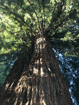 CN Redwood looking up.HEIC