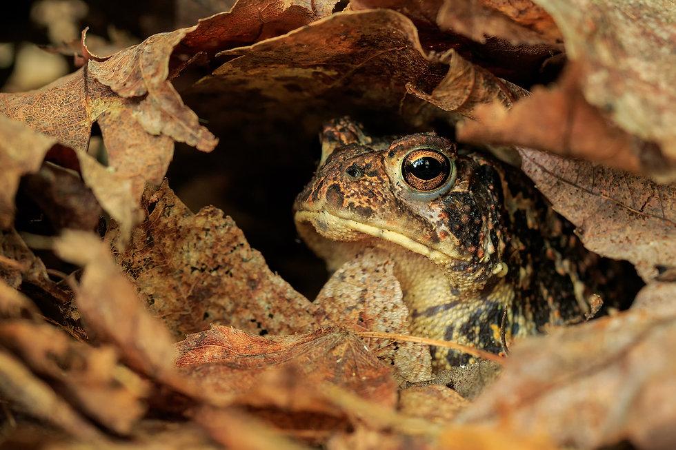 toad-in-dead-leaf.jpg