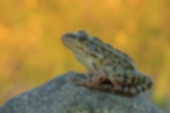 northern-leopard-frog.jpg