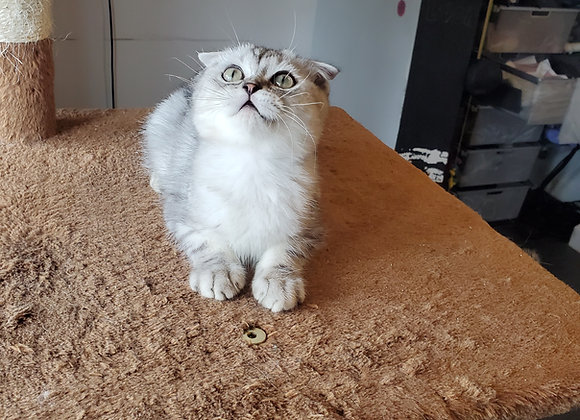 Scottish Fold - $1500